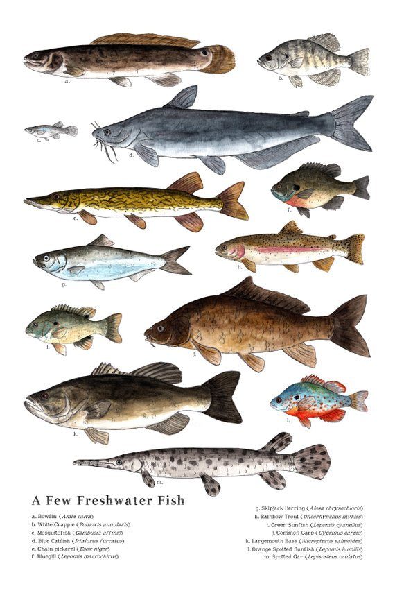 A Few Freshwater Fish Poster - Reservoir