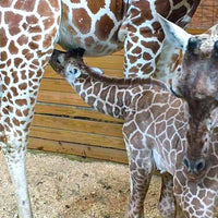 Baby Giraffe Trend: Names, Baby Gifts & More