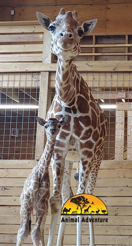 baby giraffe trend april giraffe baby boy 2019