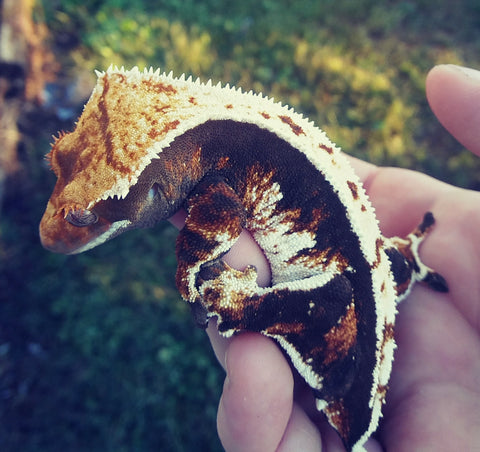 Because Crested Geckos Are Nocturnal, UVB Lighting Is Not Needed. That  Being Said, Crested Geckos Can Benefit From UVB Lighting.