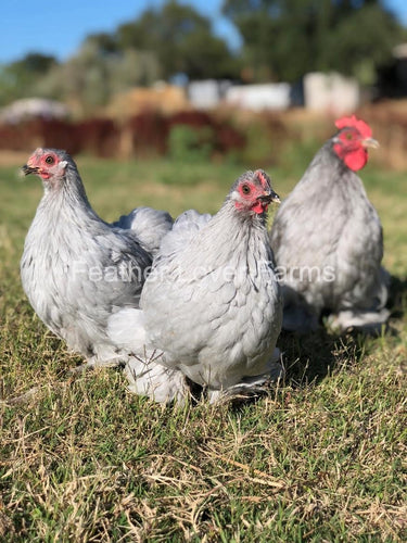 Lavender Cochin Bantams For Sale From Feather Lover Farms