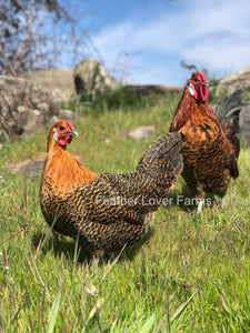 Death Layer Rooster & Hen Feather Lover Farms