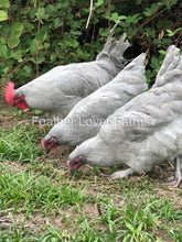 French Lavender Marans Chick (Unsexed)