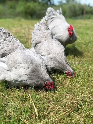 2 Lavender Wyandotte Hens & 1 Rooster Feather Lover Farms