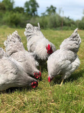 Lavender Wyandotte Chickens Feather Lover Farms