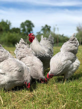 Lavender Wyandotte Hens & Rooster Feather Lover Farms