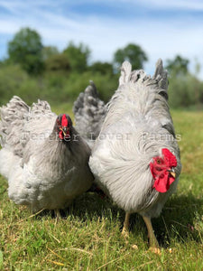 Lavender Wyandotte Pair Feather Lover Farms