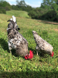 Splash Isbar Hen & Rooster Feather Lover Farms