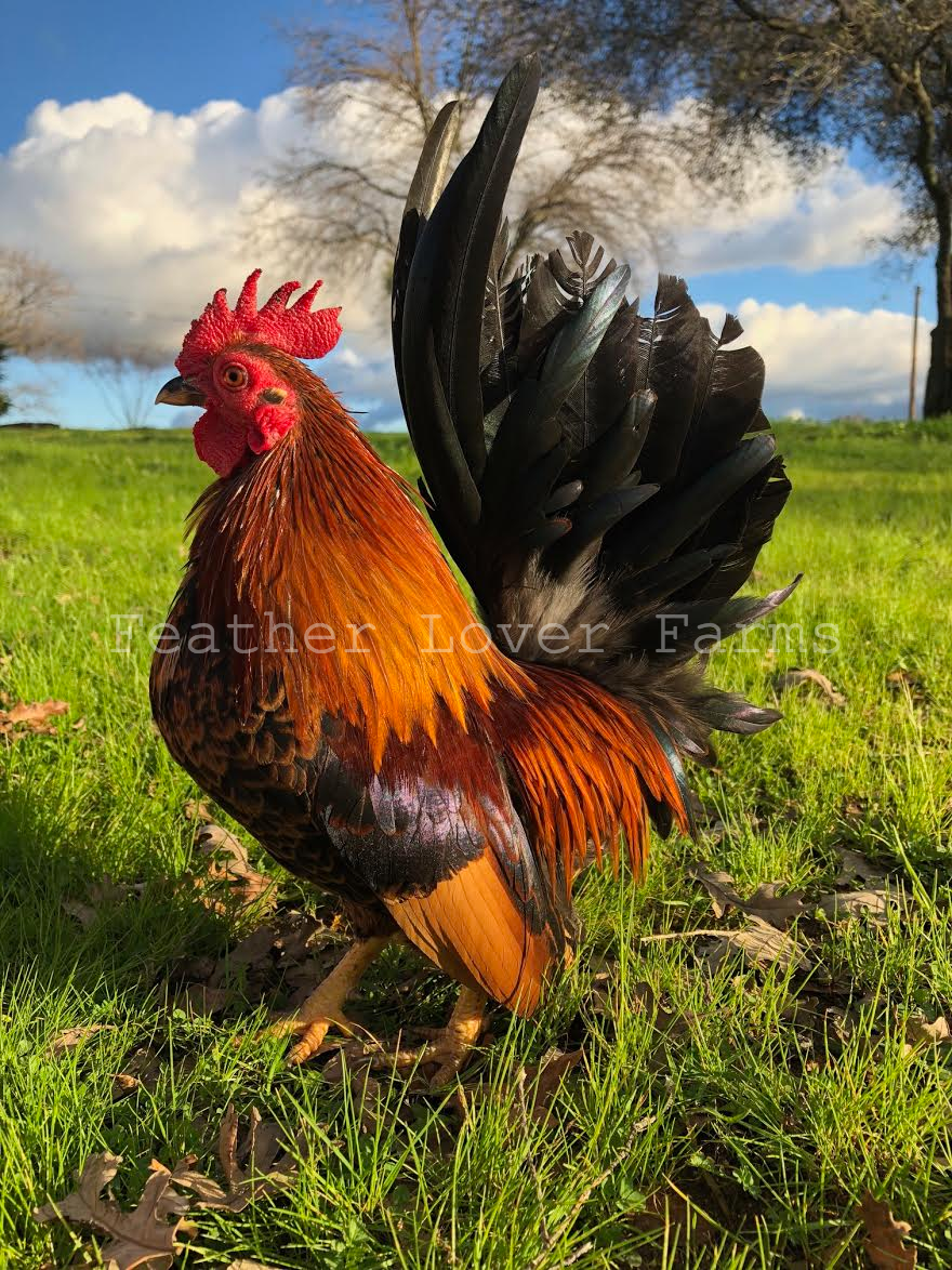 Malaysian Serama Rooster For Sale