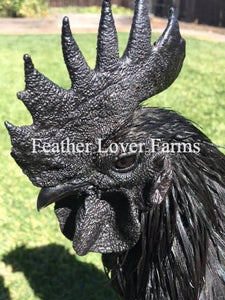 Feather Lover Farms Line Ayam Cemani Chicks (Straight Run)