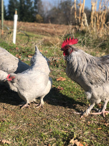 Feather Lover Farms Lavender Olive Egger Rooster & Hen