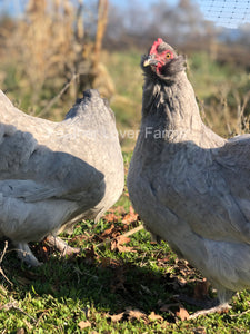 Feather Lover Farms Lavender F3 Olive Egger Rooster & Hen