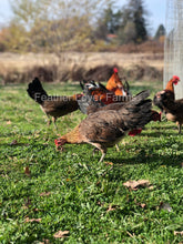Feather Lover Farms Ayam Ketawa Laughing Chicken Rooster & Hens