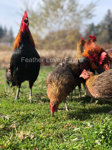 Feather Lover Farms Ayam Ketawa Laughing Chickens Rooster & Hen