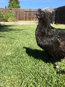 Feather Lover Farms Ayam Cemani Hen