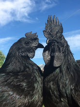 Feather Lover Farms Ayam Cemani Rooster & Hen