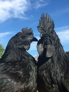 Ayam Cemani Pair Feather Lover Farms