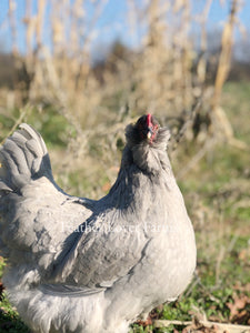 Feather Lover Farms Lavender Olive Egger Hen