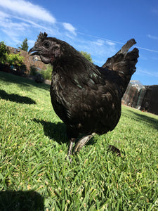Greenfire Farms Ayam Cemani Hen For Sale