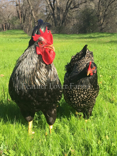 Double Laced Silver Barnevelder Rooster & Hen