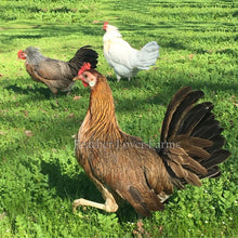 Onagadori Phoenix Long Tail Hens Feather Lover Farms