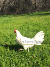 Onagadori Phoenix Long Tail Hen Feather Lover Farms