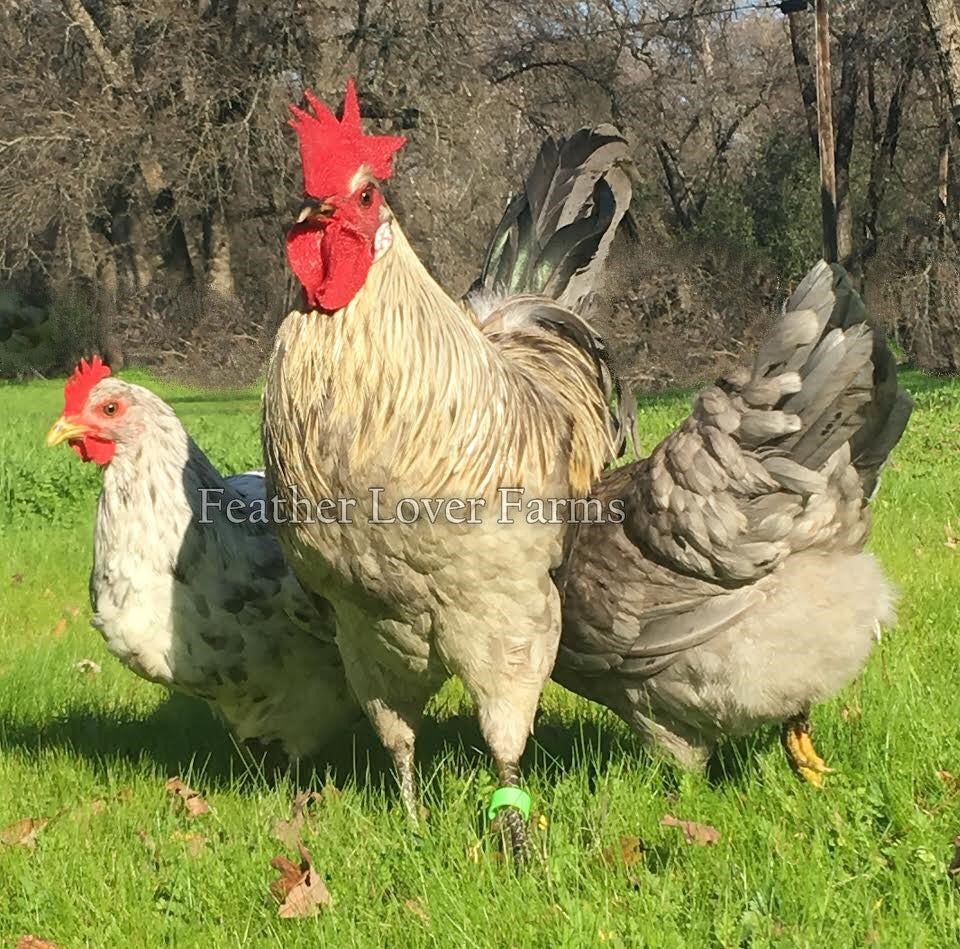 Swedish Isbar Chicks For Sale | Feather Lover Farms