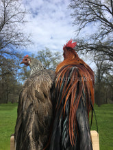 Onagadori Phoenix Chickens Feather Lover Farms
