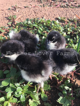 Black Copper Marans Chicks