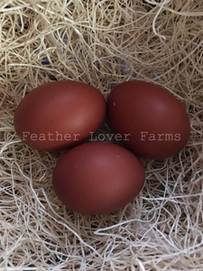 Dark Black Copper Marans Eggs