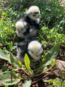 White Crested Polish Chicks Feather Lover Farms