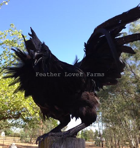 Feather Lover Farms Ayam Cemani