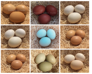 Feather Lover Farms Different Chicken Egg Colors