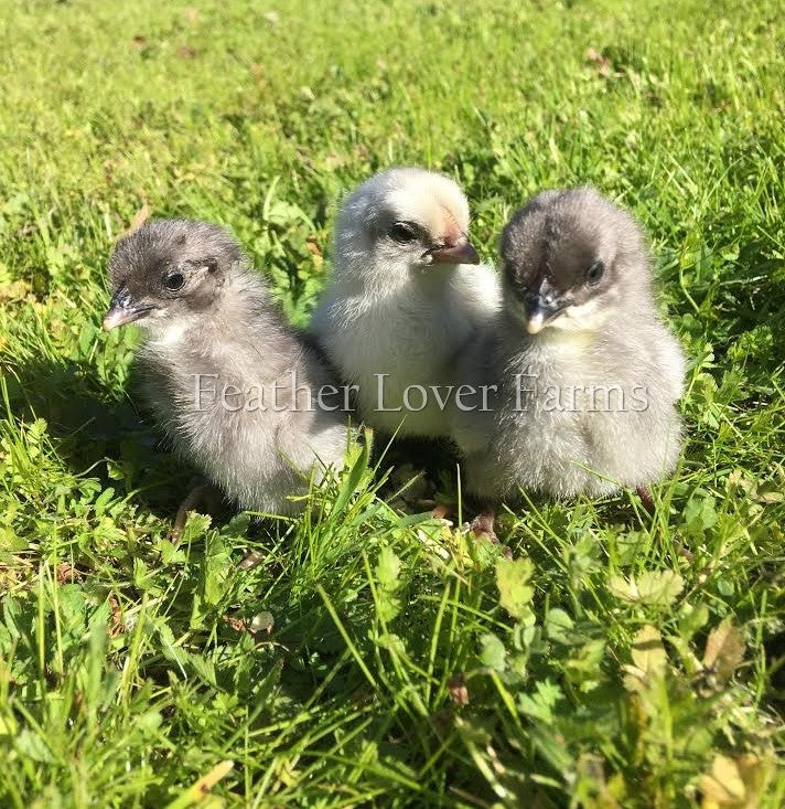 Swedish Isbar Chickens For Sale Feather Lover Farms