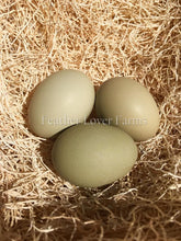 Green Swedish Isbar Chicken Eggs