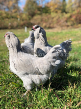 Lavender Ameraucana Hens & Rooster