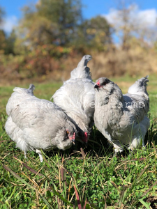 Lavender Ameraucana Rooster & Hens