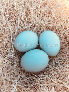 Crested Cream Legbar Sky Blue Eggs