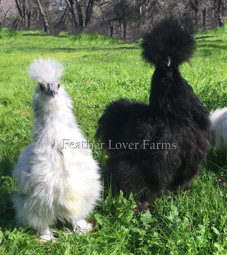 Splash & Black Silkie Chickens