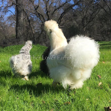 White, Splash & Black Silkie Hens