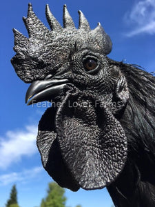 Feather Lover Farms Ayam Cemani black chicken Rooster