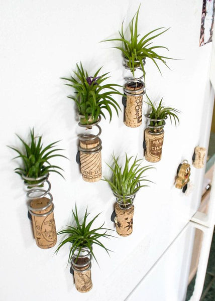 air plants and cork