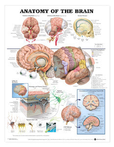 Anatomy of the Brain Chart - Budget Medical Supplies