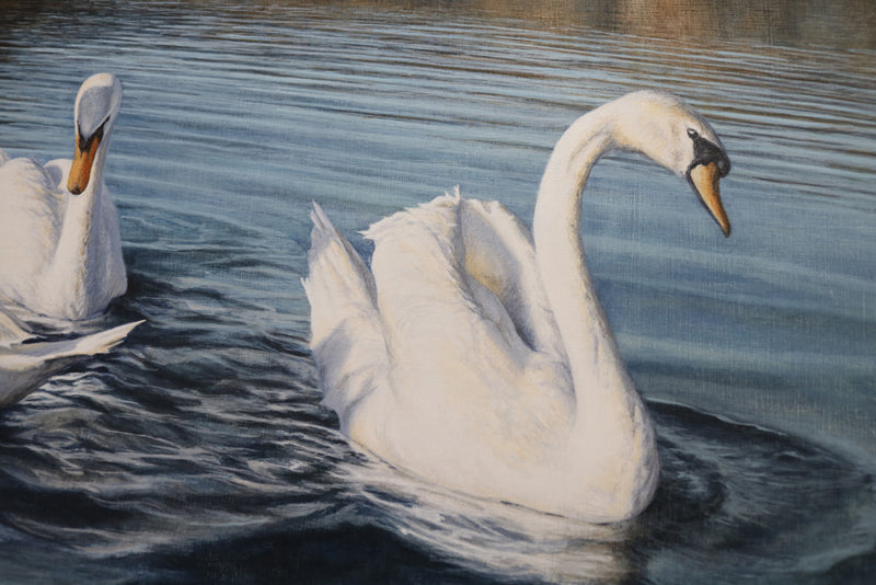 Detail of two swans paddling towards the viewer. nice detail of shadows and feathers.