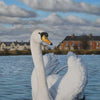detail of the swan painting showing the variations of white on the swan's plumage and the Belfast houses in the background.