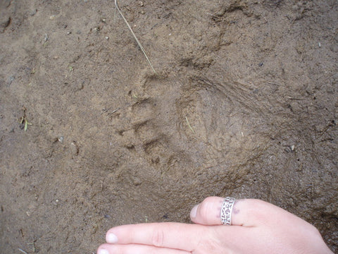 Baby Black Bear Wildlife Track