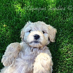 Goldendoodle and Labradoodle Puppies for sale – Devoted to