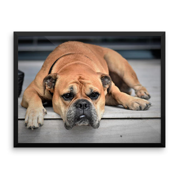 Sleeping Bulldog Framed Photo Poster Wall Art Decoration Decor For Bedroom Living Room