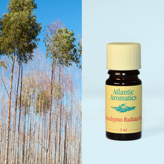 Atlantic Aromatics - Eucalyptus Radiata