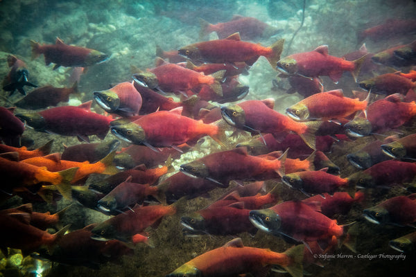 Kokanee Salmon Run/ Kootenay Lake, BC